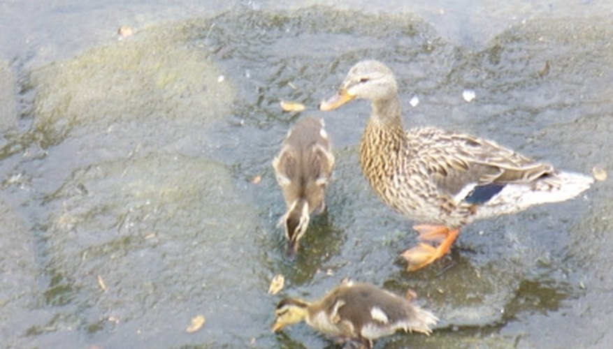 Ducklings like to eat worms and lettuce.