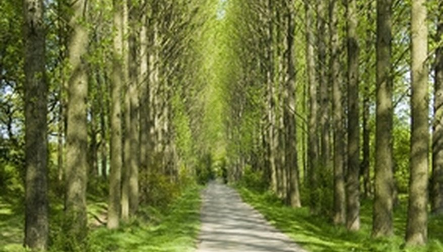 Poplar trees are tall and narrow - a good choice for lining country driveways