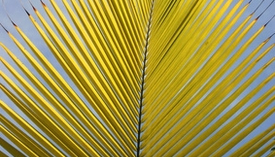 Palm leaves come in various shapes and sizes.