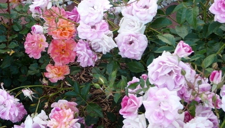 Knock Out and Carpet roses have smaller blooms than other types of roses.