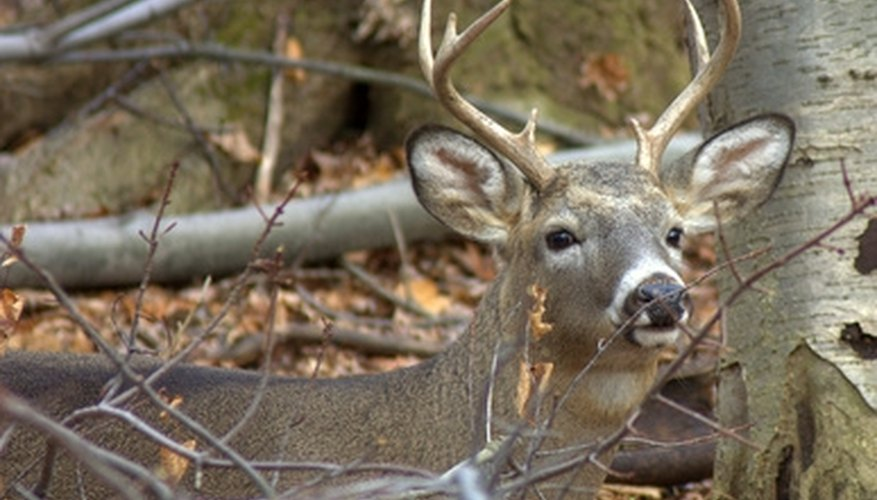 How to Clean White Tail Deer Antlers