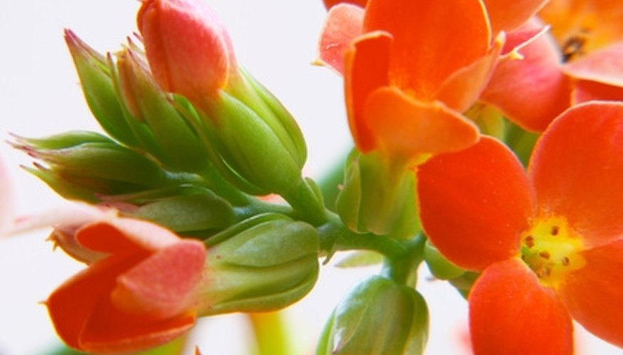 Kalanchoe is a tropical plant that is used to treat many medical problems.