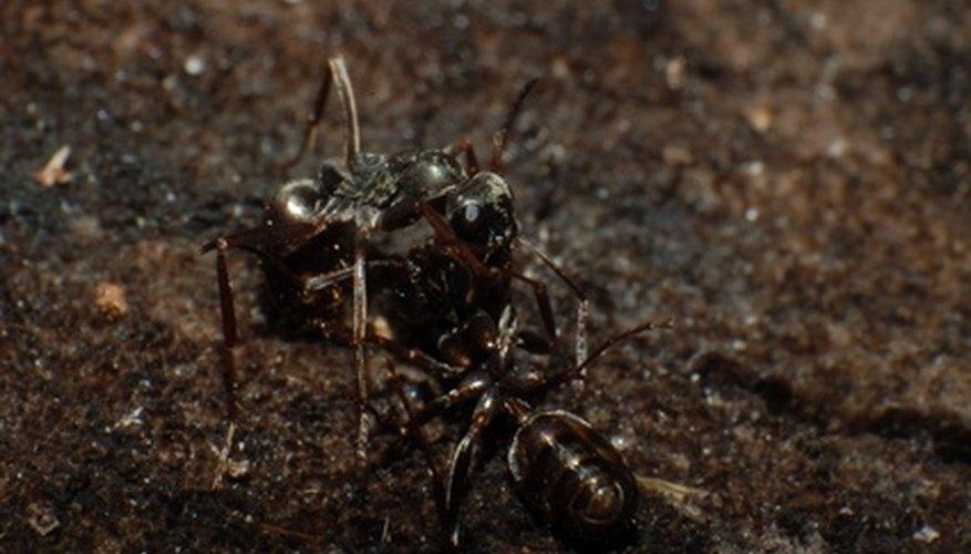 Get rid of little kitchen ants.