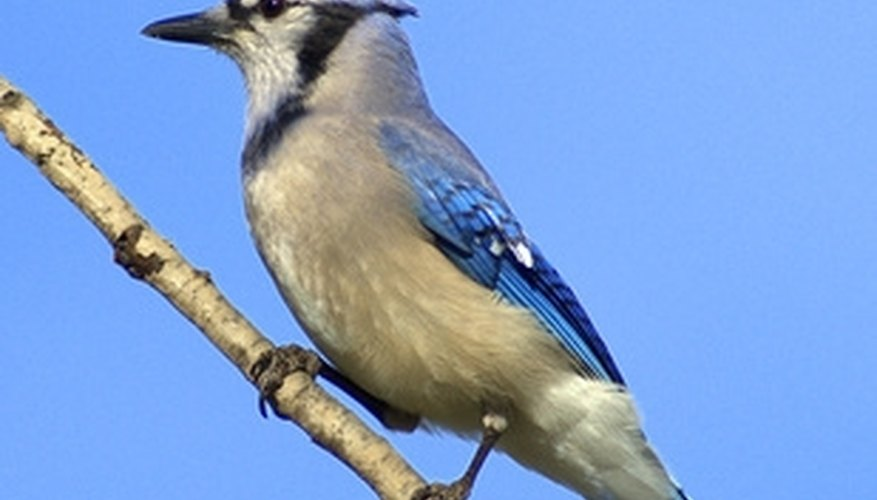 Make your own blue jay birdhouse for a unique look at nesting blue jays.