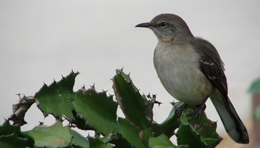 Mockingbirds & Aggressive Behavior