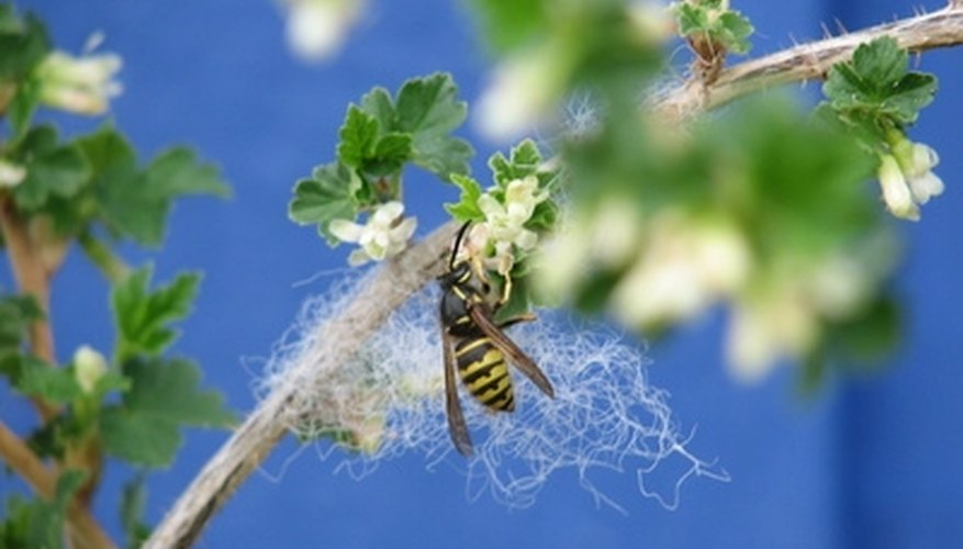 Even though they sting, the wasp is a beneficial creature.