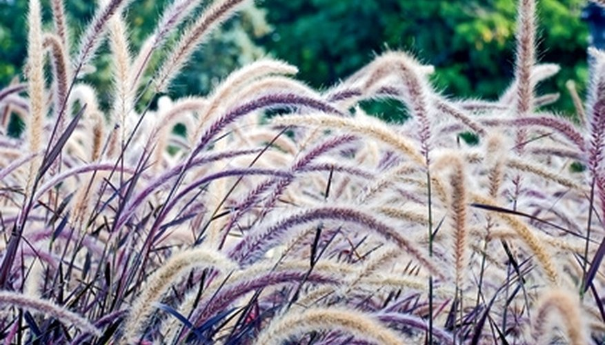 Ornamental grasses come in a range of colors.