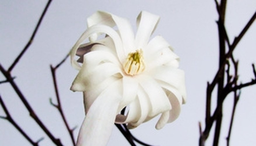Beautiful flowers are a major asset of Florida's magnolias.