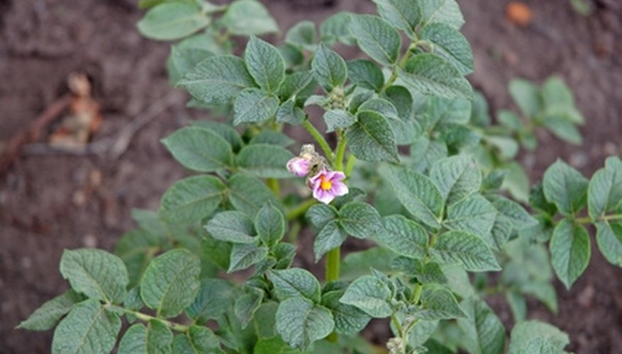 The potato plant resembles a small bush.