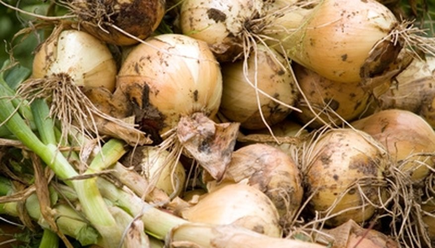 Plant onions in a new location each year to prevent infestation and disease.