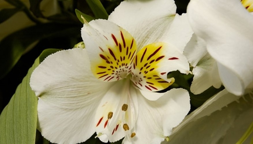 Alstroemeria flowers bloom in a variety of colors.