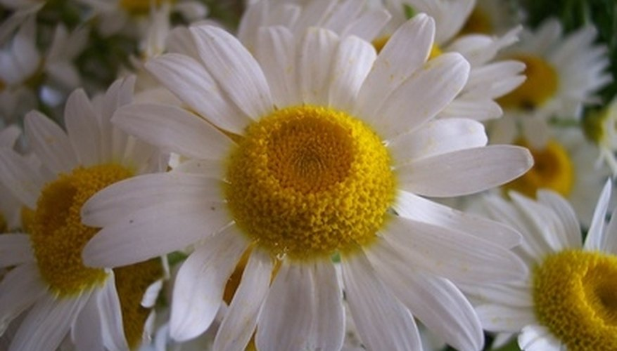 Shasta daisies grow well in the Pacific Northwest.