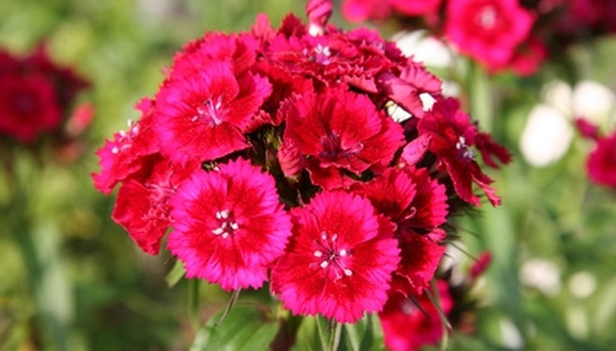A list of common perennial flowers garden guides phlox are a common perennial flower mightylinksfo Choice Image