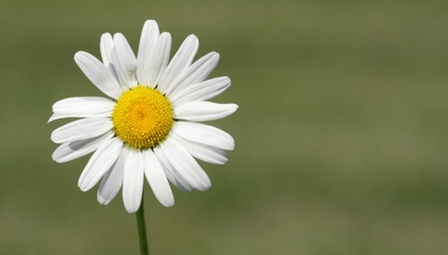 Shasta daisies are found throughout the US.