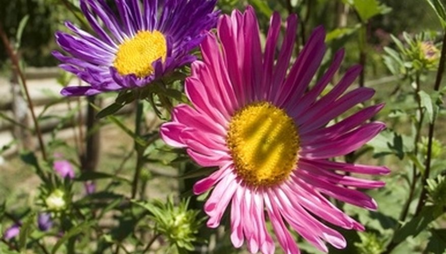 Aster flowers with pink and violet petals.