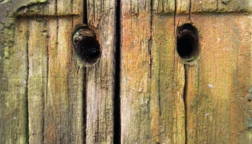 Carpenter bees burrow into wood to lay eggs.
