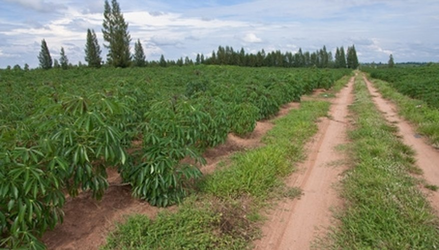 A field of cassava plants that yield yuca roots, popular in Mexican cuisine.