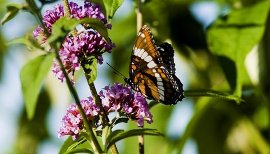 Heavy pruning will keep your butterfly bush covered in blossoms.