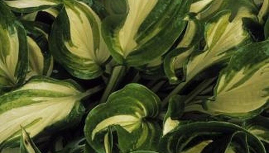 Plants With Green White Leaves Garden Guides