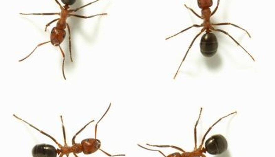 Ants in the home are a common problem.