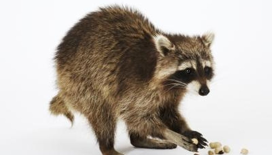 Raccoons can cause damage and wreak havoc in a shed.