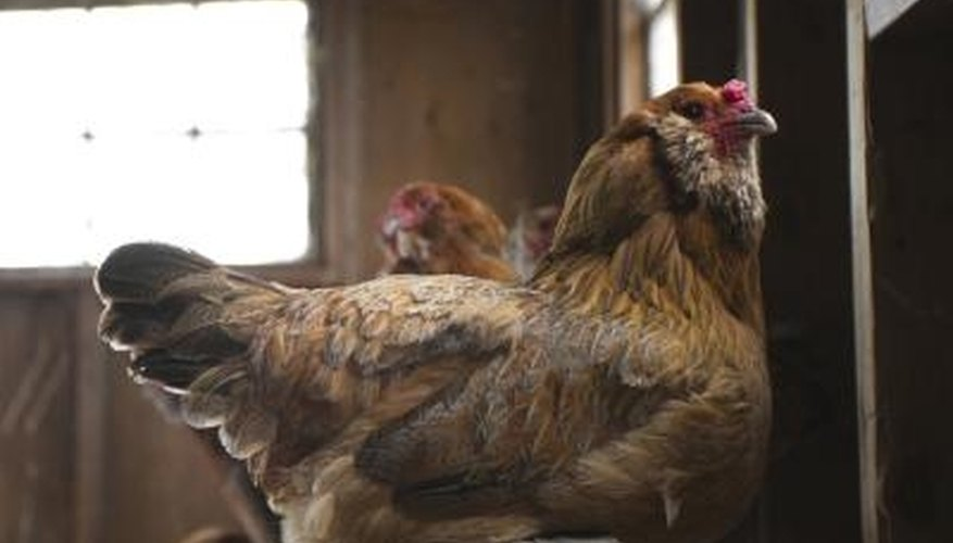 Raise organic chickens and eggs to improve your health.