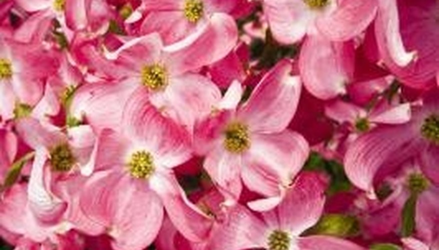 Dogwood needs little, but careful, pruning.
