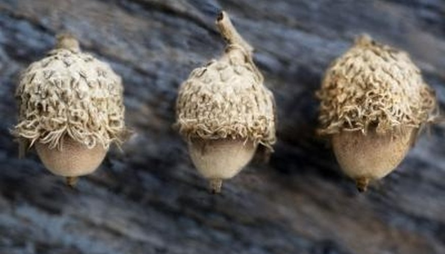 Acorns quickly distinguish an oak tree from any other tree species.