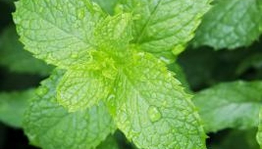 Mint tea for a stomachache is a tradition medicinal plant use.
