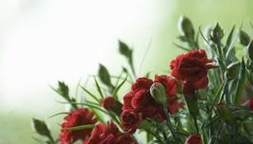 Carnations are perennial flowers that grow back each spring.