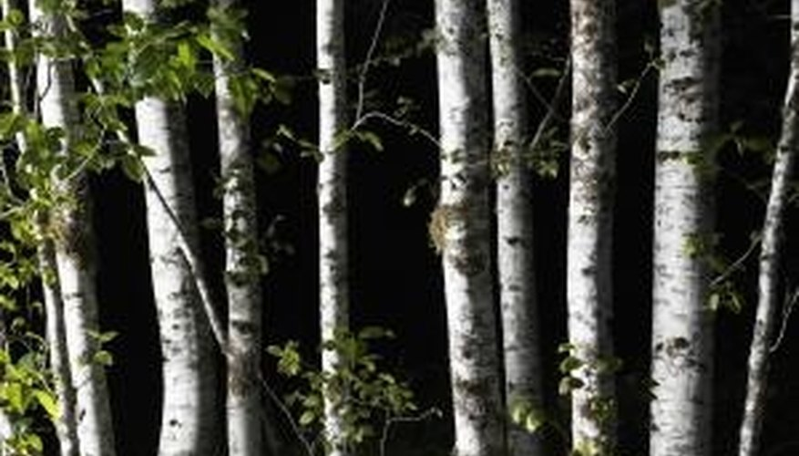 The paper birch is a species native to cool northern climates.