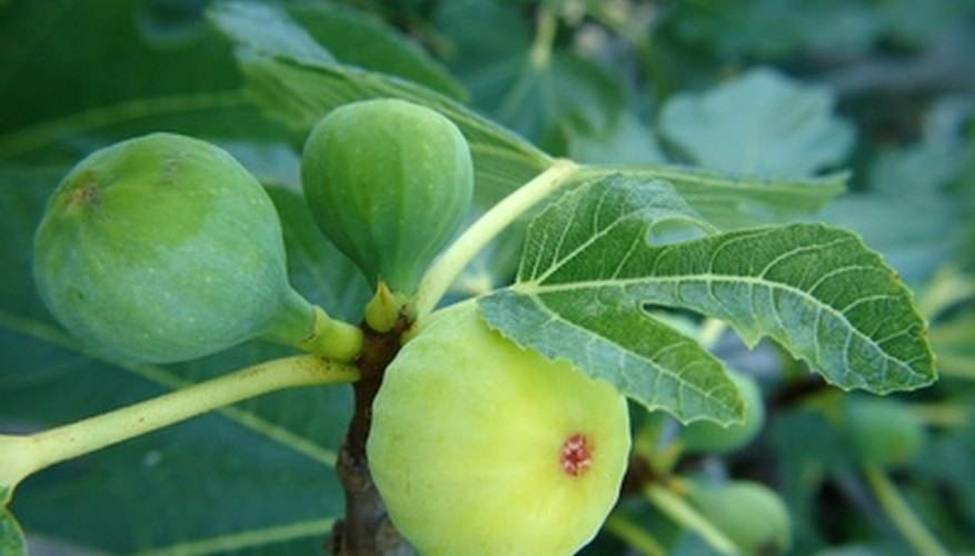 Grow fig trees in a location with northern exposure to protect the fruit from early spring freezes.