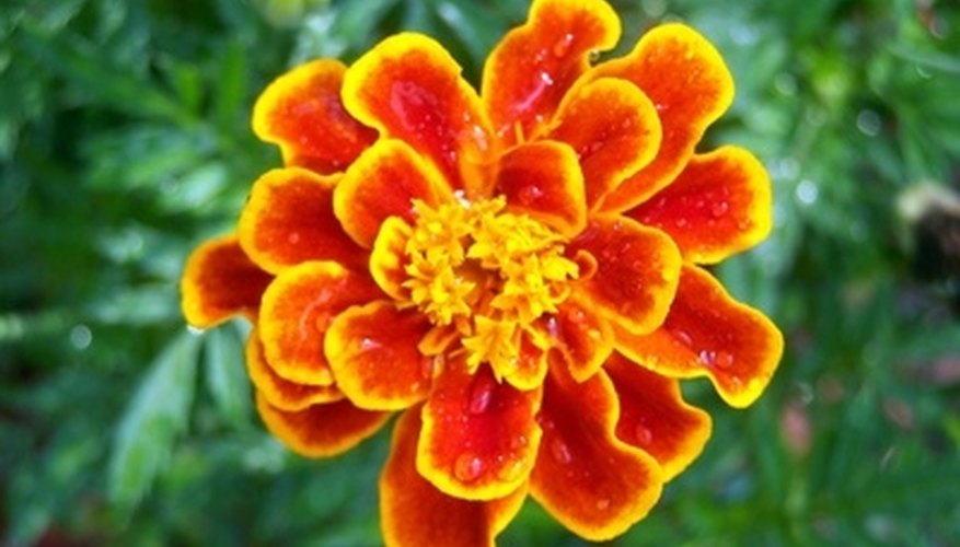 Marigolds are vibrant annuals that will lighten up your garden landscape.