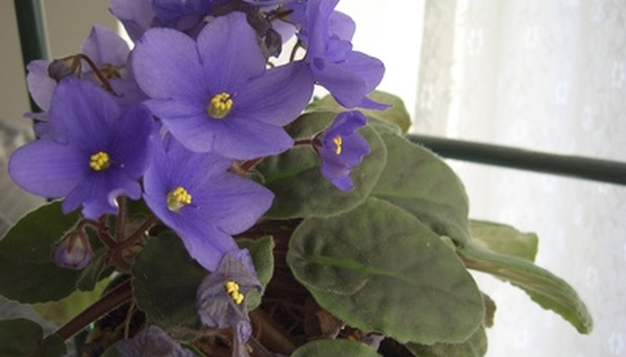 African violets are delicate plants.