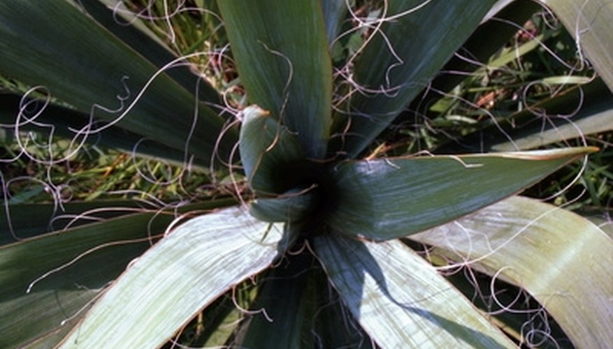 Spanish bayonet has sharp spiny tips.