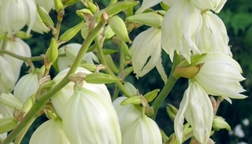 Flowers are white and bell-like.