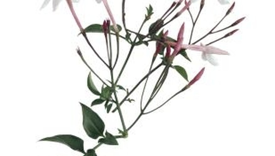 Pink jasmine features richly fragrant, white blossoms.