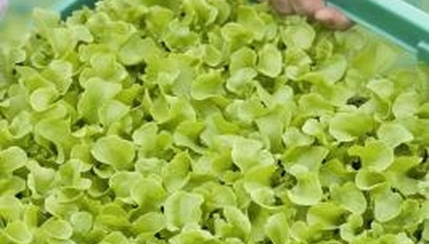 Gardeners can choose from many varieties of leaf lettuce.