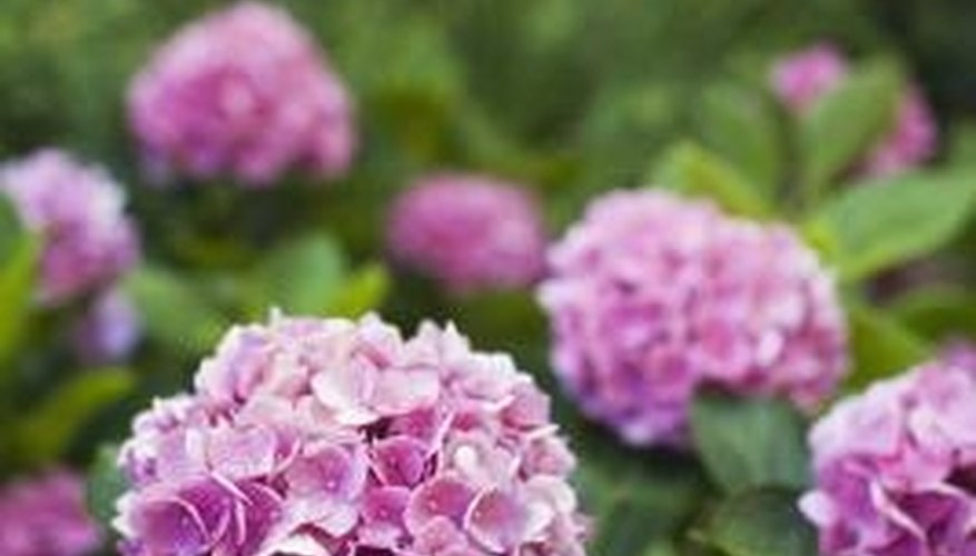 Hydrangea plants have clusters of flowers.