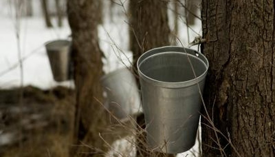 Trees with a diameter of more than 20 inches can have multiple taps.