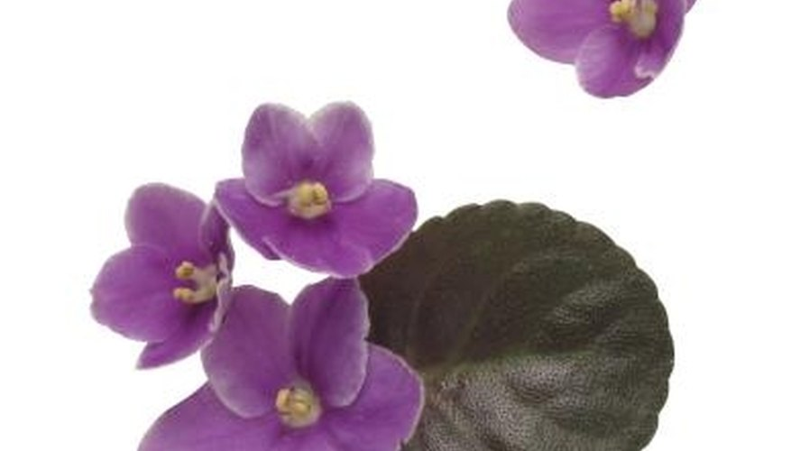 Some African violets are micro-miniatures and can grow for years in a terrarium.