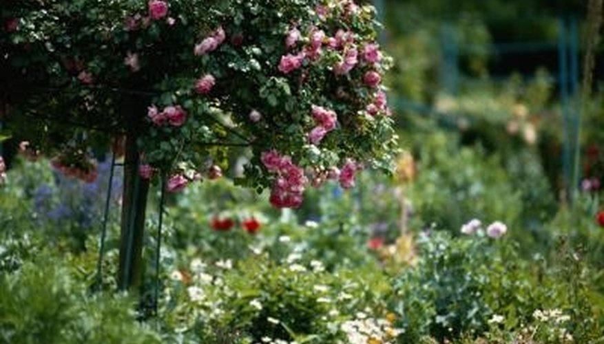 Tree roses do well in containers with plenty of sunlight and water.