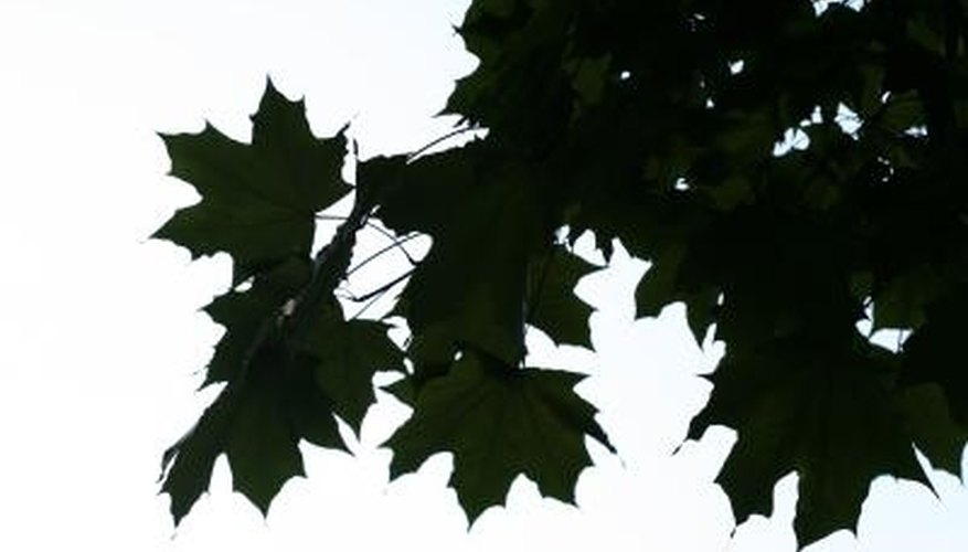 Maple trees are susceptible to infestations of spider mites and maple bladder gall.