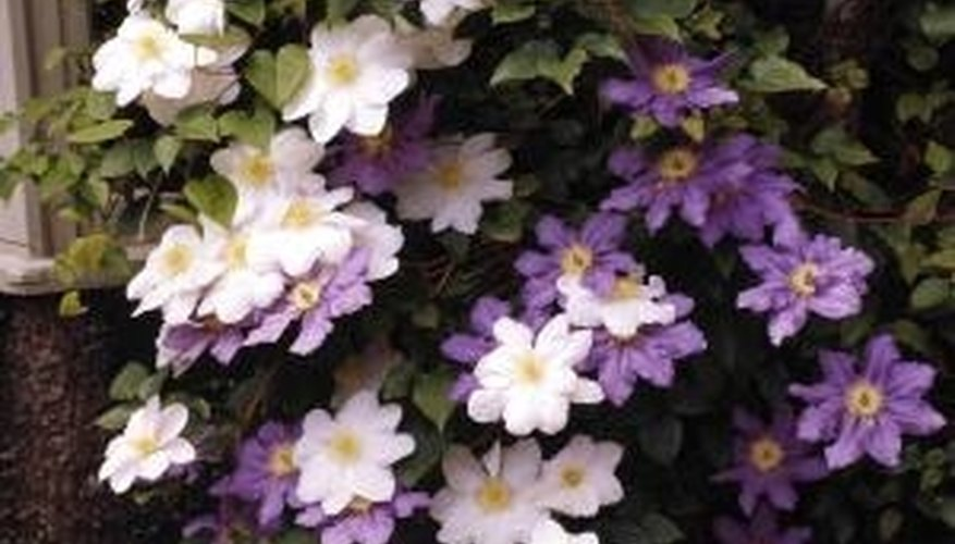 Clematis is a flowering climbing perennial that will cover trellises, fences and walls.
