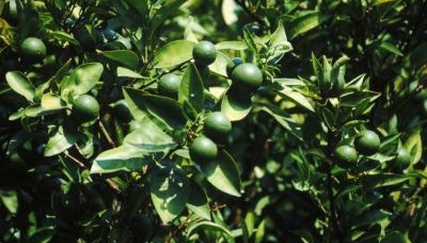 Pruning dwarf lime trees should focus on maintaing the tree's health.