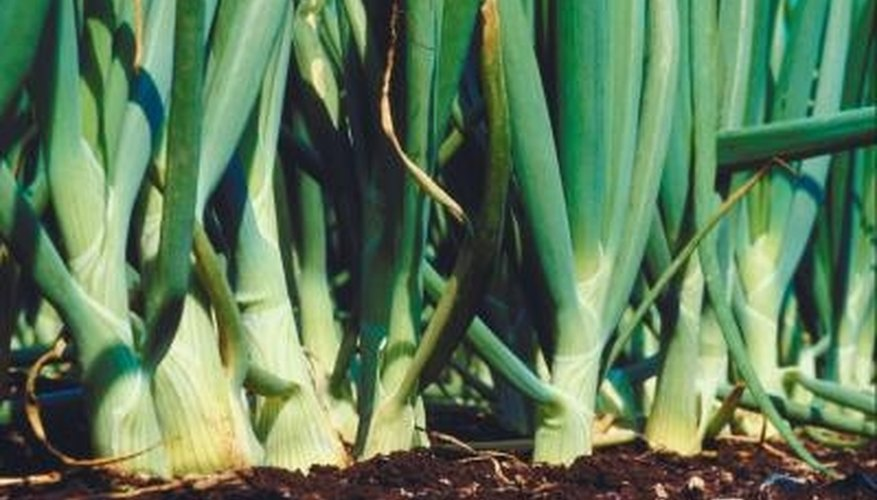 Onions are planted from seed, sets or transplants.