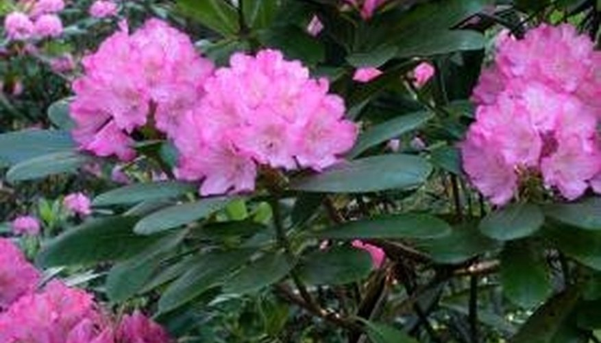 Rhododendrons grow best in acidic soil.
