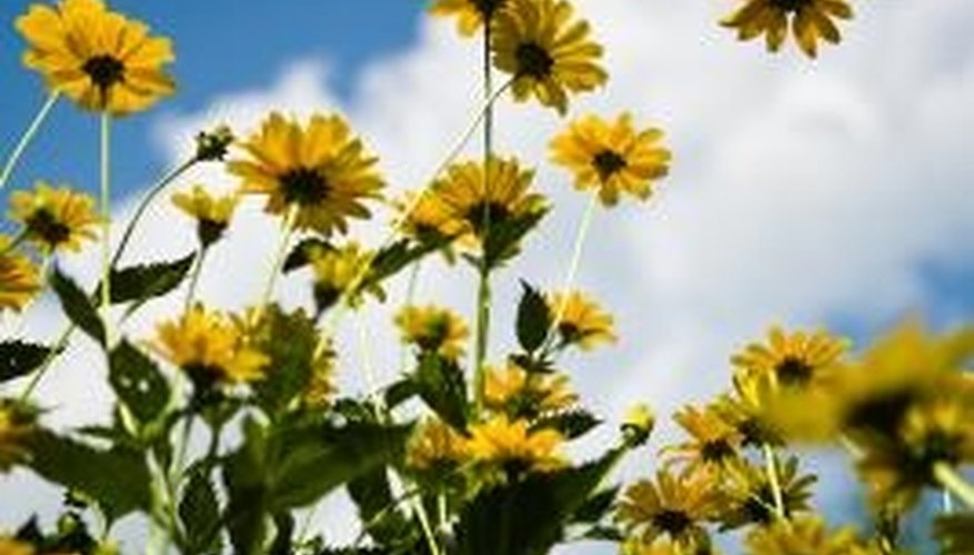 Use a brick wall to protect and complement blooming sunflowers.