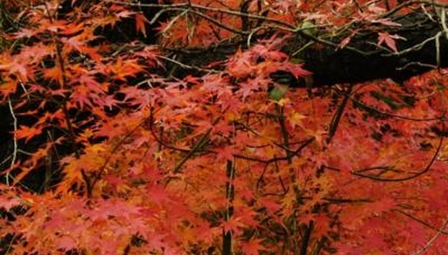 Japanese maples are suited to growth in USDA zones 5 through 8.