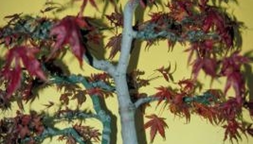A powdery mildew infection may jump aboard a Japanese maple.